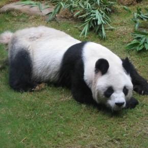 Oso panda en Ocean Park