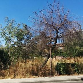 Los árboles asesinos de Madrid